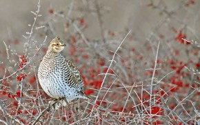 Picture nature, bird, ostrovosky grouse