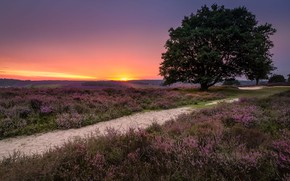 Picture landscape, nature, tree, dawn, morning, track, grass, Netherlands, meadows, lavender, Holland