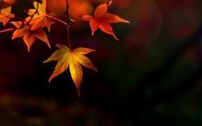 Picture autumn, leaves, autumn, leaves, colorful, maple, autumn, maple