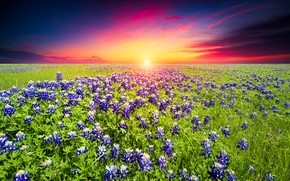 Picture field, summer, the sky, bright colors, the sun, clouds, sunset, flowers, meadow, bright, lupins