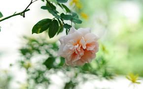 Picture flower, pink, rose, branch, bokeh