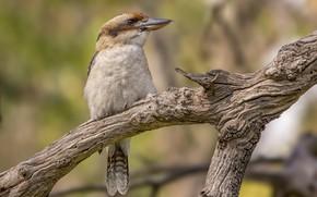 Picture bird, Woodlands Historic Park, Laughing Kookaburra