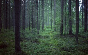 Picture forest, trees, nature