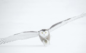 Picture winter, snow, owl, takes off