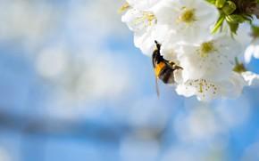 Picture macro, flowers, spring, white, bumblebee, flowering, blue background, bokeh