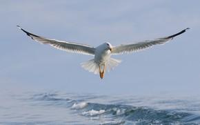 Picture sea, water, bird, wings, Seagull, flight