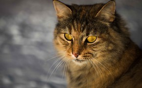 Picture cat, cat, look, face, grey, background, portrait, striped
