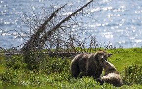 Picture greens, light, pose, shore, ate, bear, bears, pair, bears, two, pond, bokeh