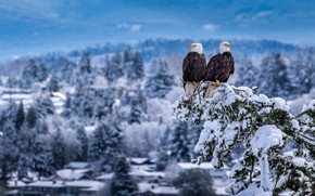 Picture snow, birds, branch, a couple, Bald eagle