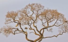 Picture tree, bird, stork, Brazilian Jabiru