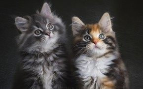 Picture grey, pair, kittens, tri-color