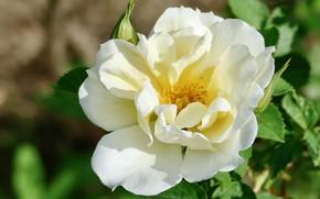 Picture flower, leaves, rose, briar, white, bokeh