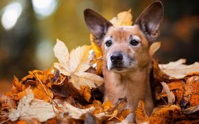 Picture autumn, eyes, look, face, leaves, Park, foliage, portrait, dog, puppy, lies