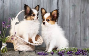 Picture dogs, flowers, basket, puppies