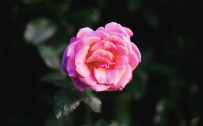 Picture Flower, Rose, Macro
