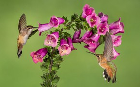 Picture flowers, background, Hummingbird