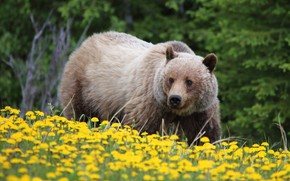 Picture flowers, bear, dandelions, grizzly