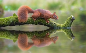 Picture water, nature, reflection, animal, protein, snag, animal, rodent