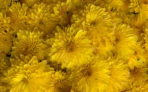 Picture flowers, yellow, chrysanthemum, a lot