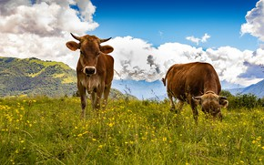Picture summer, the sky, grass, clouds, flowers, mountains, two, cow, cows, pasture, meadow, pair