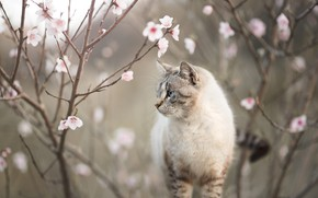 Picture cat, cat, flowers, branches, nature, spring, profile, flowering, bokeh, color-point