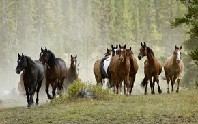 Picture forest, summer, trees, nature, fog, horse, horse, stump, horses, group, morning, horse, haze, walk, brown, ...