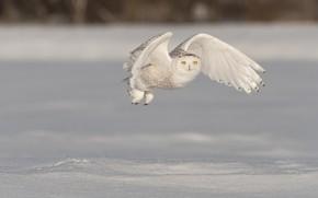 Picture winter, field, snow, flight, bird, wings, the snow, flies, snowy owl