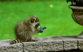 Picture surprise, raccoon, phone, cub, curiosity, smartphone