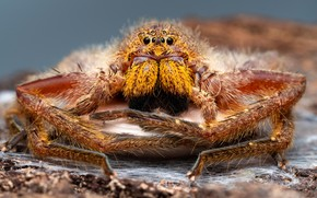 Picture eyes, macro, portrait, legs, spider, hairy, large