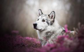 Picture look, face, flowers, nature, portrait, dog, pink, husky, bokeh, Malamute, Heather