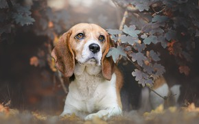 Picture look, face, leaves, branches, dog, Beagle