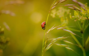 Picture macro, nature, ladybug, beetle, insect, a blade of grass, bokeh