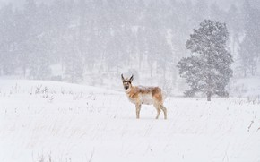 Picture winter, field, forest, snow, nature, tree, Blizzard, snowfall, pronghorn, pronghorn antelope