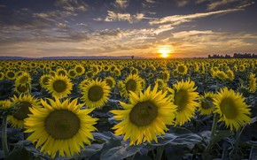 Picture summer, sunflowers, sunset