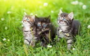 Picture summer, grass, cats, flowers, glade, kittens, clover, blue eyes, trio, three kittens