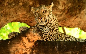 Picture predator, leopard, wild cat