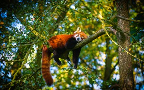 Picture summer, branches, pose, tree, stay, foliage, sleep, sleeping, red Panda, cutie, bokeh, red Panda