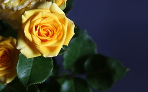 Picture roses, branch, yellow, buds