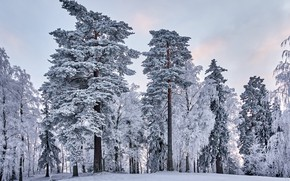Picture winter, frost, forest, the sky, snow, trees, nature, tale, morning, ate, frost, pine, snowy