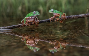 Picture water, pond, reflection, background, two, frog, branch, green, pair, frogs, a couple, pond, tree frogs