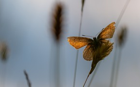 Picture macro, light, background, stems, butterfly, orange, spikelets, insect, red, brown, blade