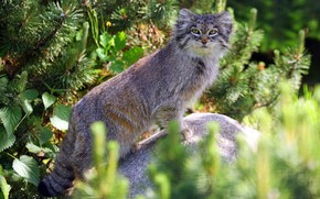 Picture look, face, light, branches, pose, stone, needles, stand, bokeh, manul