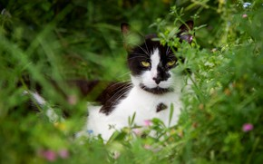Picture greens, cat, summer, grass, cat, look, nature, black and white, lies