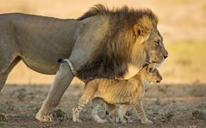 Picture cat, Leo, family, lion, pride