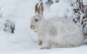 Picture winter, frost, snow, pose, hare, rodent
