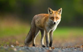 Picture look, leaves, nature, green, background, paws, Fox, red, is, Fox