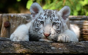 Picture white, look, tiger, portrait, lies, log, face, tiger