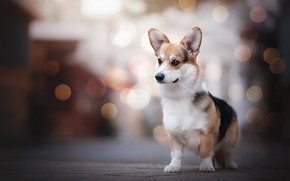 Picture glare, dog, stand, Welsh Corgi