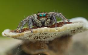 Picture eyes, macro, background, mushroom, spider, jumper, jumper, spider, jumping spider, членистоногое