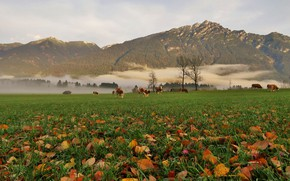 Picture field, autumn, forest, grass, leaves, trees, mountains, fog, rocks, foliage, the slopes, tops, morning, cows, …